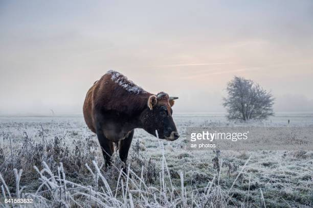 Cow on frozen foggy pasture