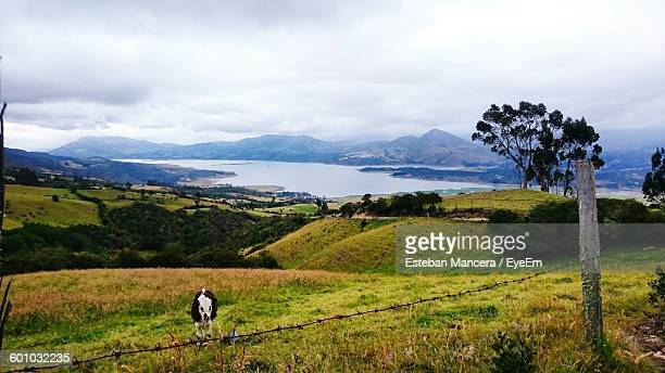 cow on grassy field in tomine reservoir against cloudy sky - cundinamarca stock pictures, royalty-free photos & images