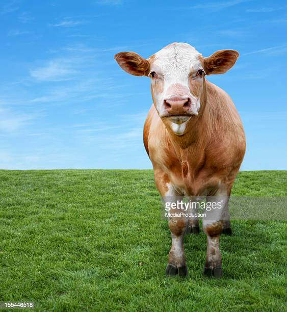Cow on green field with copyspace
