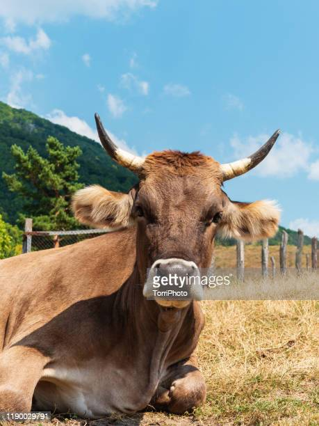 cow on pasture at sunny day - animal nose stock pictures, royalty-free photos & images