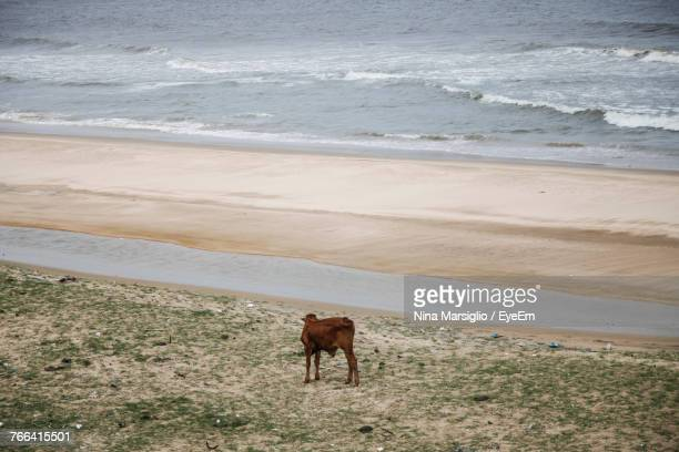 Cow On Shore At Beach