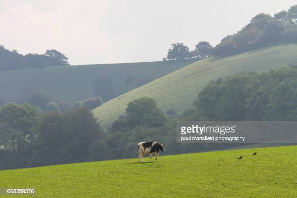 Cow on South Downs National Park