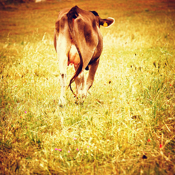 Cow on summer farm