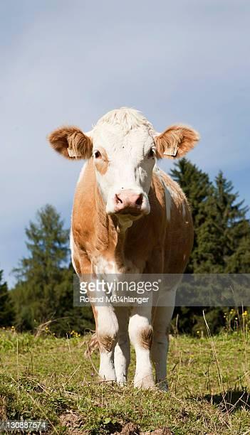 Cow on the Hoehlenstein-Alm mountain pasture, Langkampfen, Tyrol, Austria, Europe