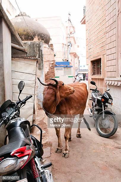 Cow on the street, Pushkar Rajasthan India