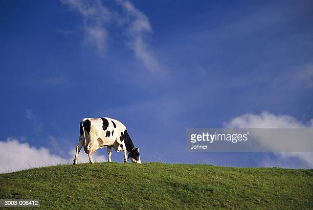 Cow on Top of Hill