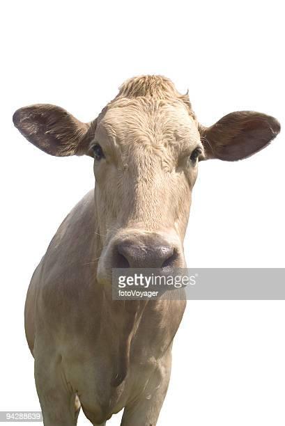 Vache sur fond blanc avec un Tracé de détourage
