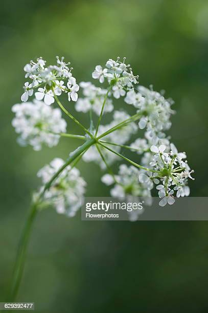 Cow parsley Anthriscus sylvestris a single umbel viewed from beneath using selective focus