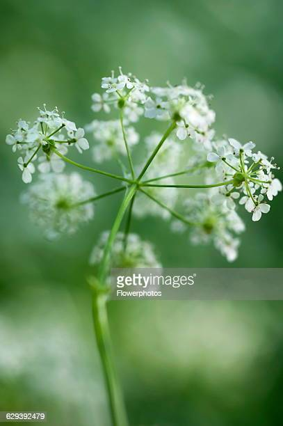 Cow parsley Anthriscus sylvestris a single umbel viewed from beneath using selective focus Other soft focus flowers creating a dappled background