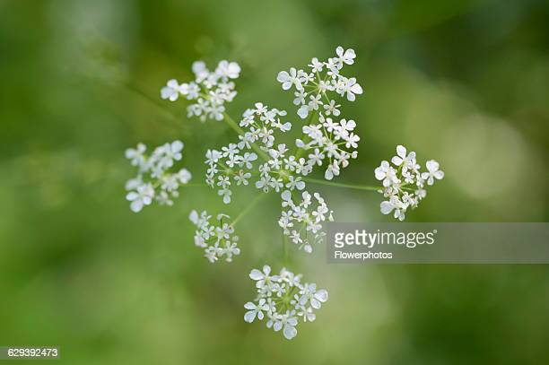 Cow parsley Anthriscus sylvestris a single umbel viewed from overhead using selective focus Other soft focus flowers creating a dappled background