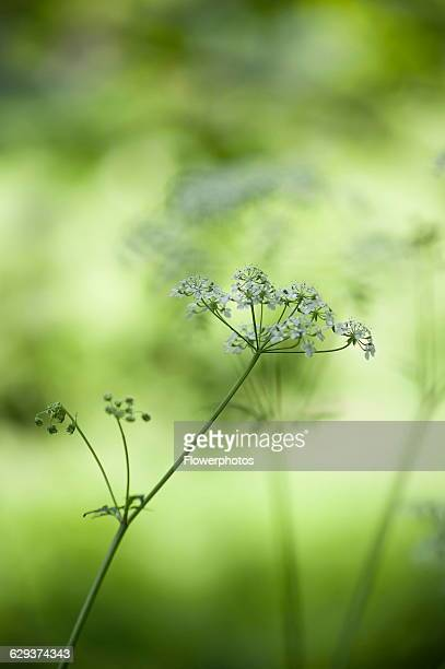 Cow parsley Anthriscus sylvestris a single umbel with buds viewed from the side using selective focus Other soft focus flowers in sunlight creating a...