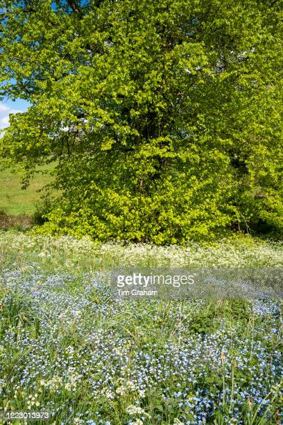 Cow Parsley Anthriscus sylvestris and Forget Me Not Myotis blooming in springtime and Lime Tree Tilia broadleaf deciduous tree in full leaf England