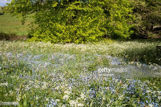 Cow Parsley - Anthriscus sylvestris, and Forget Me Not Myotis blooming in springtime and Lime Tree - Tilia - broadleaf deciduous tree in full leaf,...