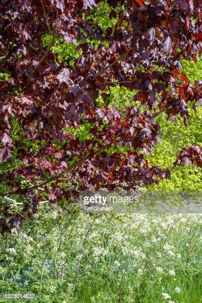 Cow Parsley Anthriscus sylvestris blooming in springtime and Maple Tree Acer broadleaf deciduous tree in full leaf England