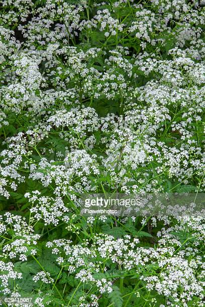 Cow parsley Anthriscus sylvestris Top view of masses of white flowers and leaves