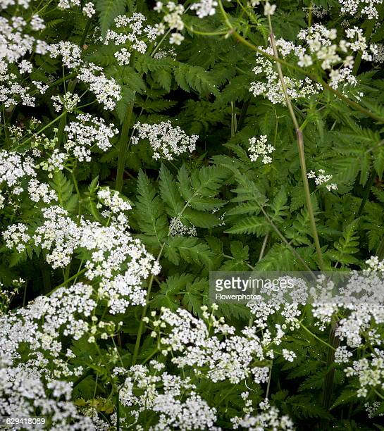 Cow parsley Anthriscus sylvestris Top view of several white flowers and fern shaped leaves forming a patern