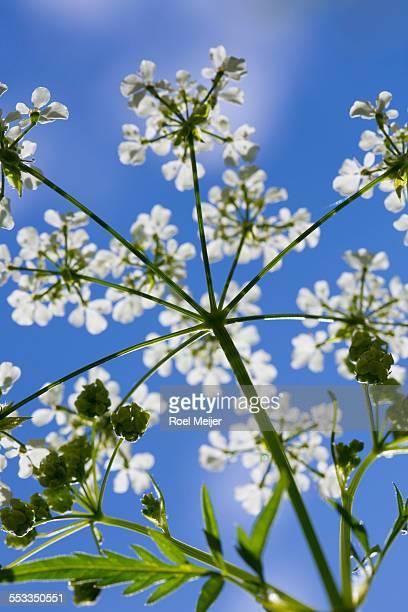 Cow parsley flowers on blue sky