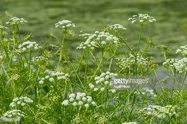 Cow parsley (Anthriscus sylvestris) growing beside the Grand Western Canal, near Tiverton in Devon, these white flowers with green stems and foliage are one of the most familiar wild plants in the British countryside at summertime
