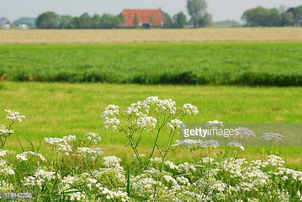 Cow Parsley growth in agriculture landscape.