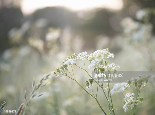 Cow parsley in Spring meadow.