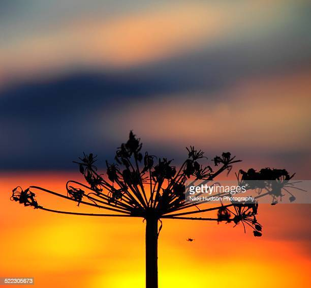 Cow parsley Silhouette, sunset