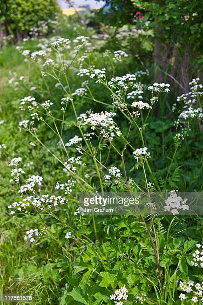 Cow parsley wildflower in hedgerow, Asthall, the Cotswolds, Oxfordshire, UK