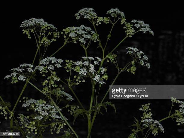 Cow Parsnip Growing In Forest