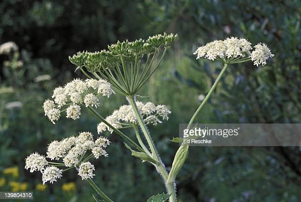 Cow Parsnip, Heracleum lanatum, Umbel inflorescence, Umbelliferae
