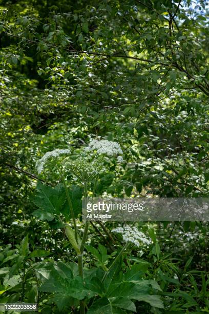cow parsnip - giant hogweed stock pictures, royalty-free photos & images