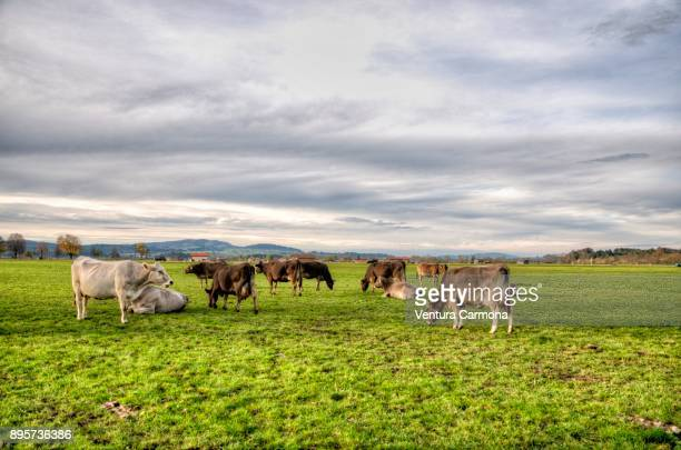 Cow pasture at Schwangau, Bavaria - Germany