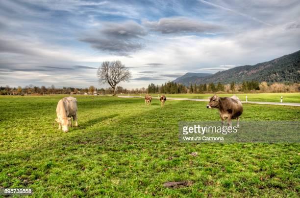 Cow pasture at Schwangau, Bavaria - Germany