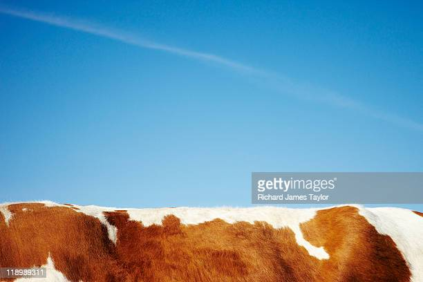 cow - cowhide stock photos and pictures