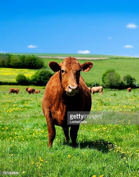 cow - hoofed mammal stock pictures, royalty-free photos & images