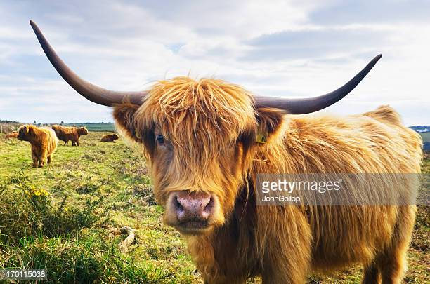 cow - highland cattle stock photos and pictures
