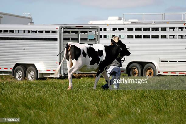 cow - livestock show stock pictures, royalty-free photos & images