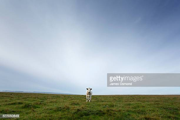 cow. - one animal stock pictures, royalty-free photos & images