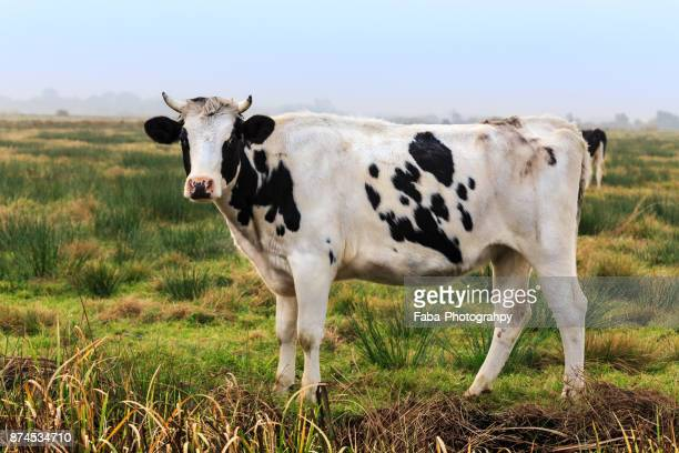 a cow - concept does not exist fotografías e imágenes de stock