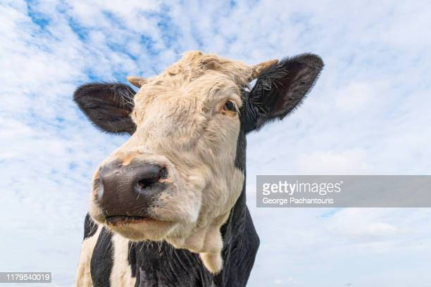 a cow portrait close-up from low angle - ranch stock pictures, royalty-free photos & images