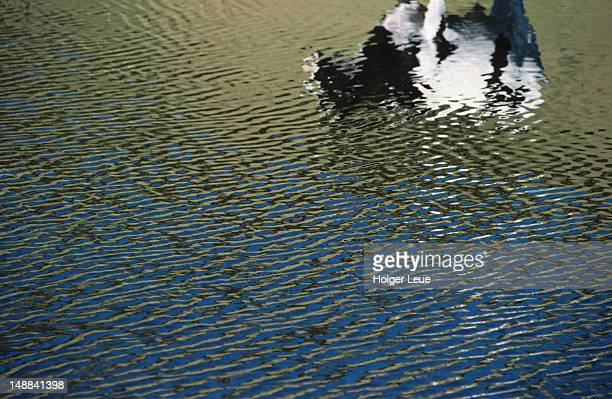 Cow reflection in water.