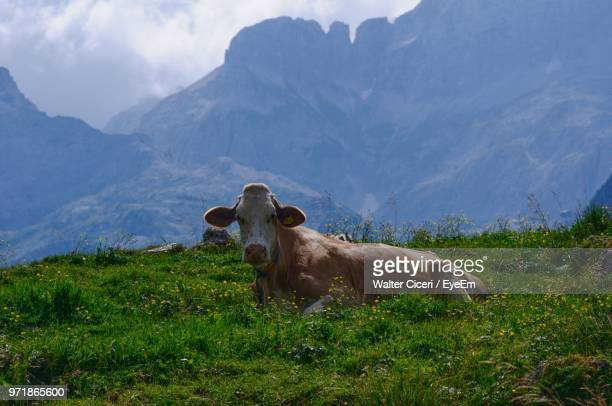 cow relaxing on field against mountain - walter ciceri foto e immagini stock