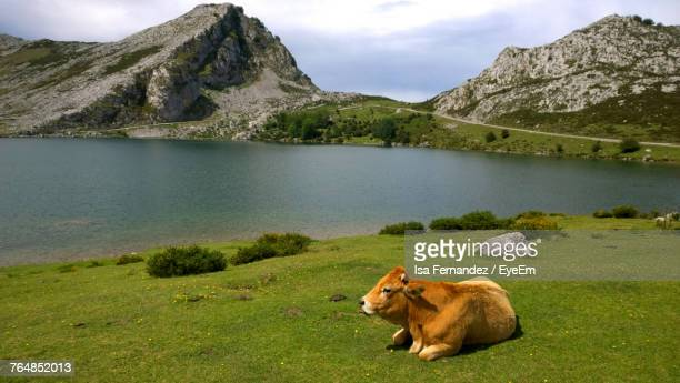 Cow Relaxing On Grassy Field By Lake And Mountains