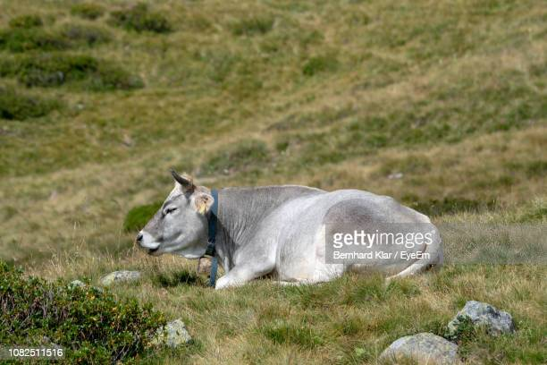 cow relaxing on grassy field - herbivorous stock pictures, royalty-free photos & images