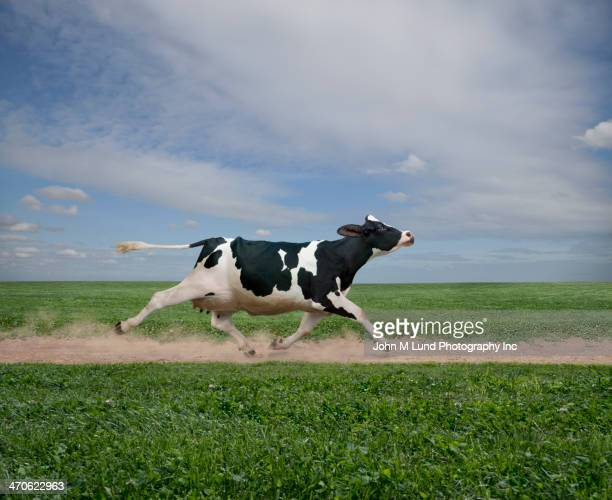 cow running on dirt path in crop field - rushing the field stock pictures, royalty-free photos & images