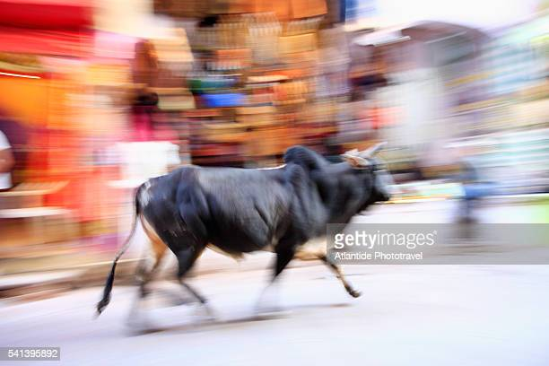 Cow Runs Through Streets of India