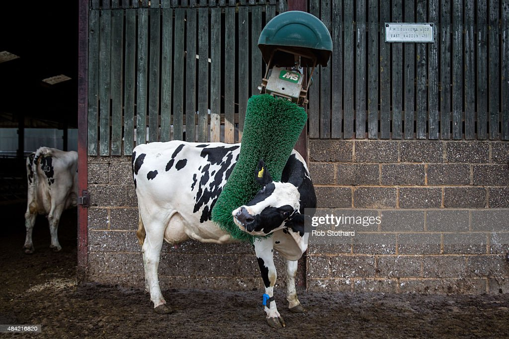 A cow scratches its back after being milked at Newlands Farm on August 16, 2015 in Bozeat, England. Newlands Farm Bozeat has 138 cows and is part of Arla Milk Link, a group of over 1,500 farmers that supplies 1.2 billion litres of milk annually to the Arla Foods cooperative. The price farmers are paid for milk has fallen by a 25 percent over the past year, with many being paid less than the cost of production. Following crisis talks with farming unions, supermarkets Aldi and Lidl have announced that they will begin to pay a minimum of 28 pence per litre from Monday with Morrisons pledging to pay 26 pence per litre from later in the month.
