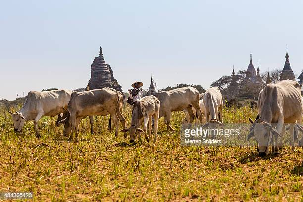 cow shepherd directing herd before temples - merten snijders stock pictures, royalty-free photos & images
