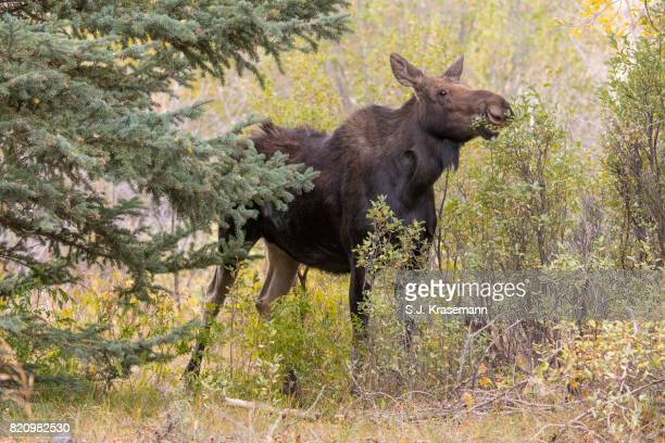 Cow Shiras Moose standing in autumn forest, Grand Teton National Park, Wyoming.