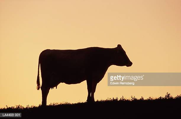 Cow silhouetted against sky, Maryland, USA
