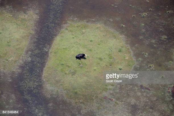 A cow sits in a pasture surrounded by floodwater left in the wake of Hurricane and Tropical Storm Harvey on August 31 2017 near Orange Texas Harvey...