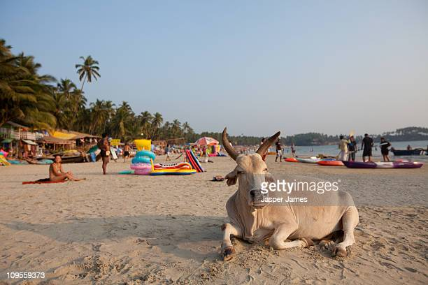 cow sitting on sand at palolem beach,goa,india - goa stock pictures, royalty-free photos & images